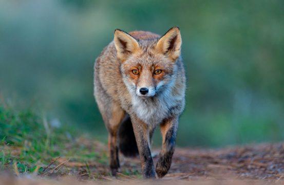 biodiversiteit vos